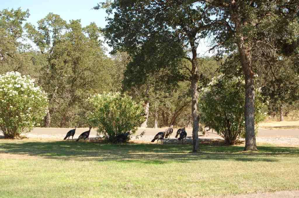 Lake California Wildlife Turkeys